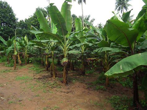 banana fruit tree trees that heal and feed banana trees lilianausvat