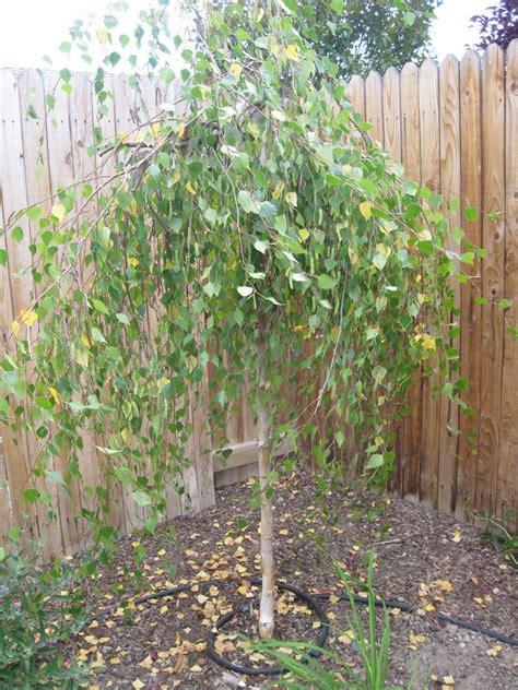 beginner gardening willow birch tree help 1 by bevoreno