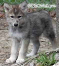 wolf pup print 8x10