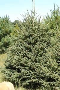 White spruce good wholesale coniferous landscaping evergreen tree in