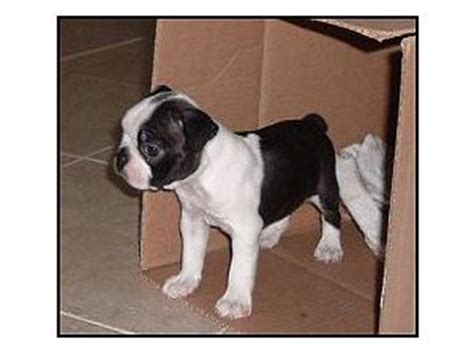 boston terrier puppies alabama boston terrier puppies for sale
