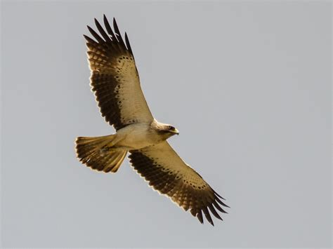 file booted eagle in flight jpg