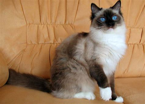 ragdoll cat colors the gallery for gt lilac point ragdoll cat