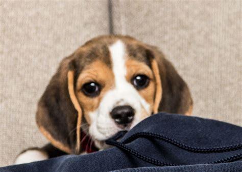 newborn beagle puppies welcome home puppy peanut butter and honey treats the scrumptious pumpkin