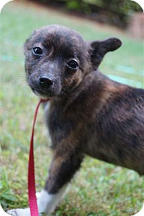 boston pomeranian mix newark de boston terrier pomeranian mix meet sailor a puppy for adoption