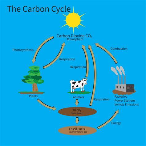 carbon cycle picture diagram rhs level 3 question carbon cycle edinburgh garden school