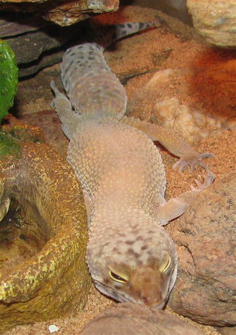 leopard gecko dbhewitts  world  stuff