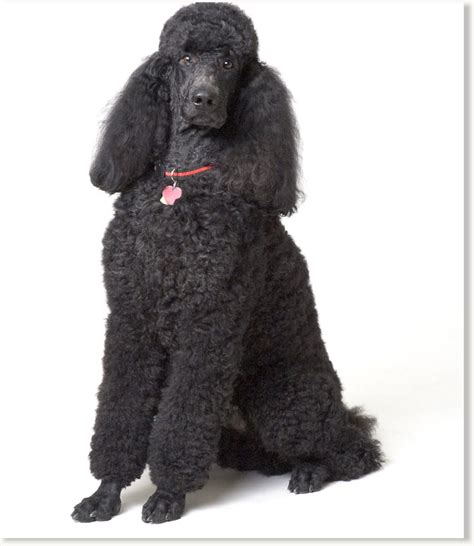 black poodle lifespan and dogs go way back most other prehistoric
