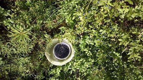 coltivare mirtilli in vaso coltivare mirtilli guida per principianti