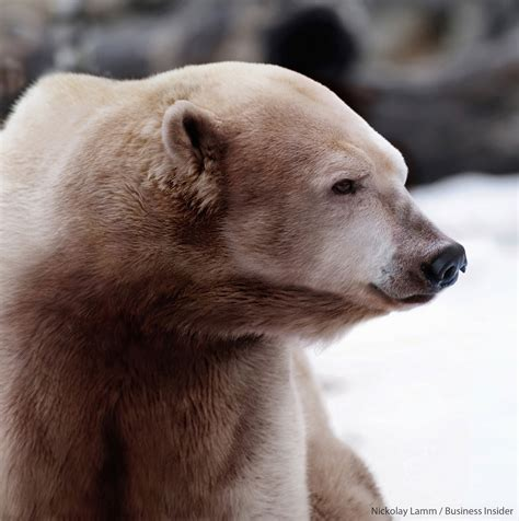 polar and grizzly polar hybrids spotted in canadian arctic sciencenordic