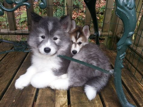 samoyed husky puppies husky puppy samoyed huskamoyed wolfmarkz