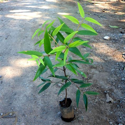 Bibit Jahe Merah Di Ngawi jual bibit damar di ngawi jual bibit tanaman unggul
