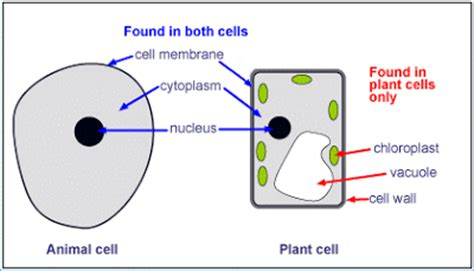 up letter between plant and animal cell mitosis diferences between plants cells and animal cells