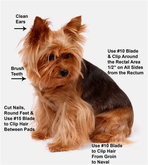 how to cut a yorkie s hair at home yorkie grooming dvd four videos how to groom yorkie ebay