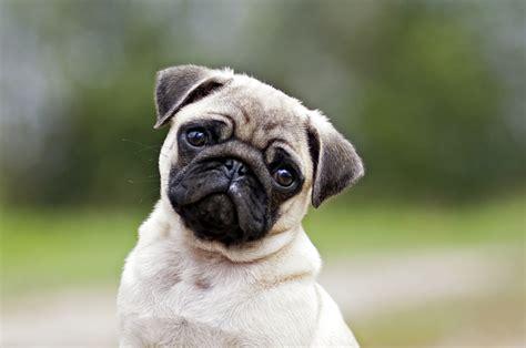 buzzfeed pugs 12 adorably sad pugs going through an existential crisis