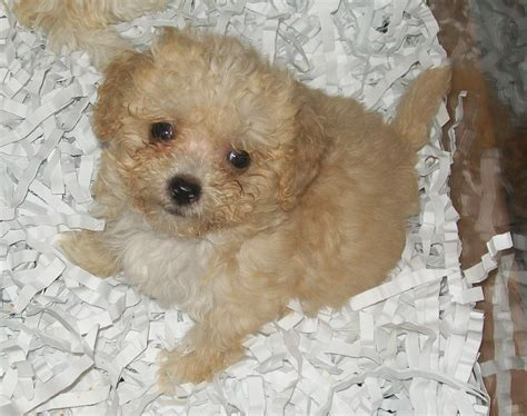 maltese shih tzu x poodle brown maltese puppy www imgkid the image kid has it