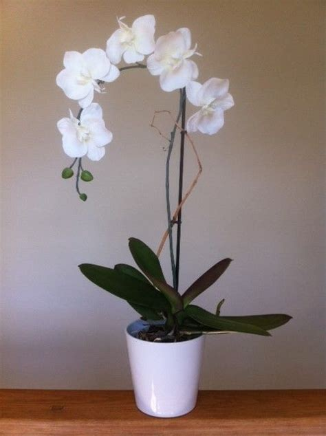 flowering house plants white orchid good indoor plant that s perfect for that