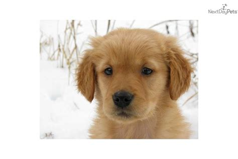 golden retriever puppies boston ma golden retriever puppy for sale near boston massachusetts f05a3ed5 fbb1