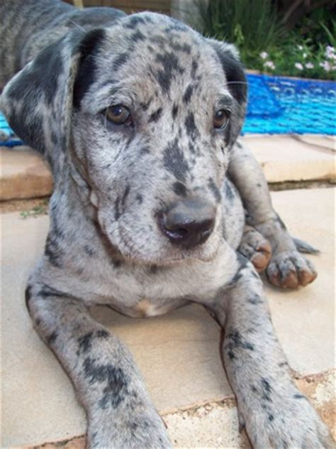labradane puppies for sale labradane puppies for sale breeds picture