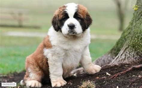 st bernard puppies for sale in michigan bernard puppy for sale in pennsylvania perritos animales