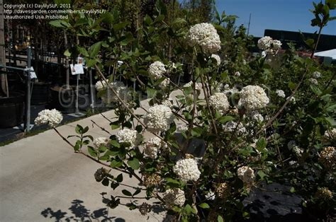 Gardens West Bloomfield plantfiles pictures viburnum hybrid fragrant snowball