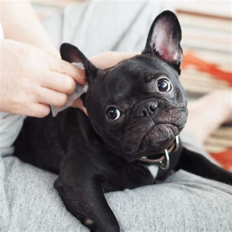 why do pugs flat faces 1000 images about pekes frenchies bullies and pugs flat faces on