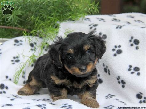 dorkie puppies for sale 17 best images about dorkies on black dachshund yorkie and