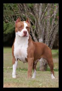 american pitbull terrier colors voice for the voiceless march 2013