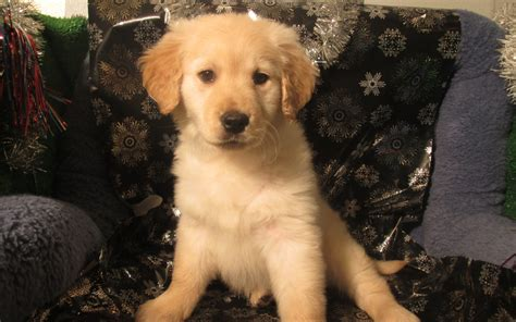 golden retriever puppy nj golden retriever puppy for sale nj merry photo