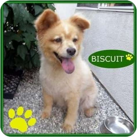 pomeranian mixed with chow buscuit adopted studio city ca chow chow pomeranian mix