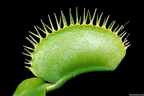 how big will my get the carnivorous plant faq how big will my venus flytrap get