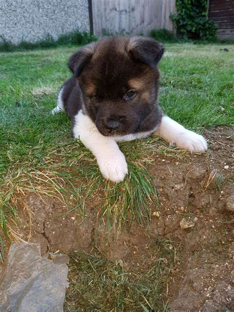 akita for sale akita puppies for sale swindon wiltshire pets4homes