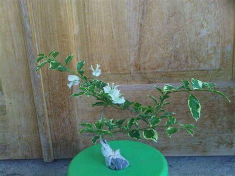 Bibit Tanaman Bougenville jual tanaman bougenville putih variegata bibit