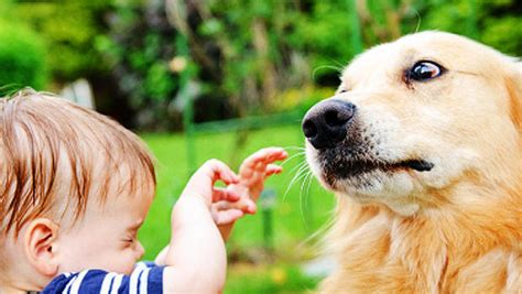 can cats and dogs babies babies with dogs less likely to develop colds ear infections as infants cbs news