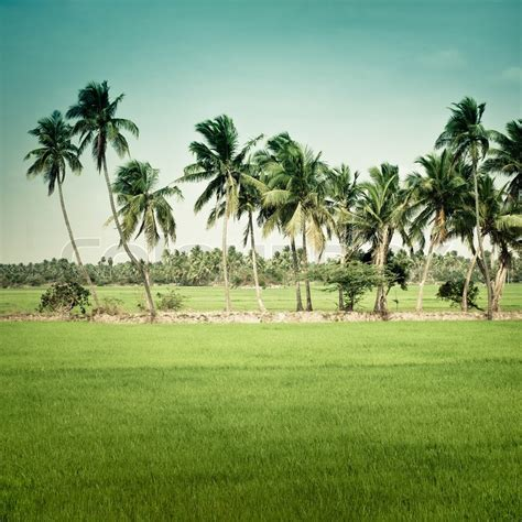 nature background green texture  rice field  coconut