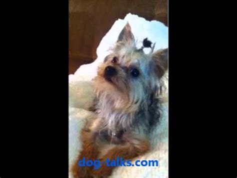 yorkies behavior my playful puppy maltese snowball toys funnydog tv