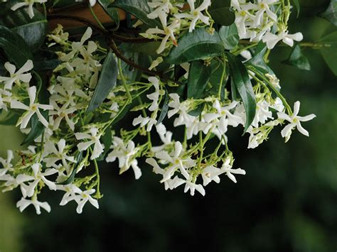 gelsomino in vaso falso gelsomino ryncospermum jasminoides giardinaggio mobi