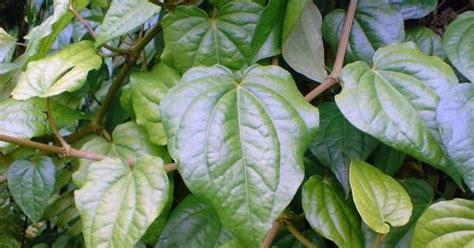 tanaman sirih  khasiatnya saurs land