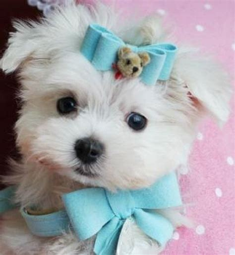 teacup yorkie puppies for sale in va pin by esmeralda martinez on puppies