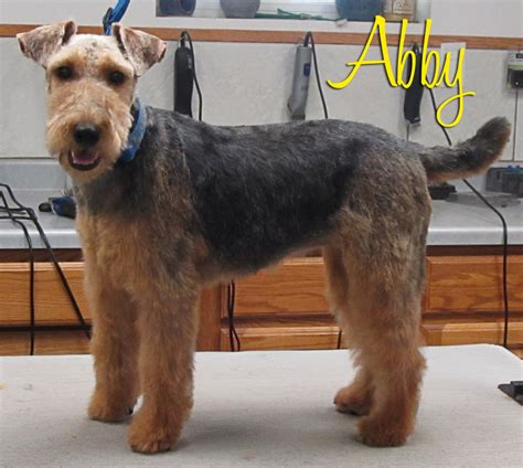 winter airedale haircut more grooming pictures chazlyn pet boarding grooming
