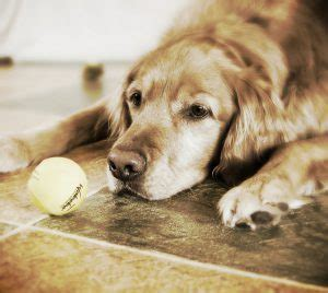 golden retriever separation anxiety 5 things you should before getting a golden retriever animalso