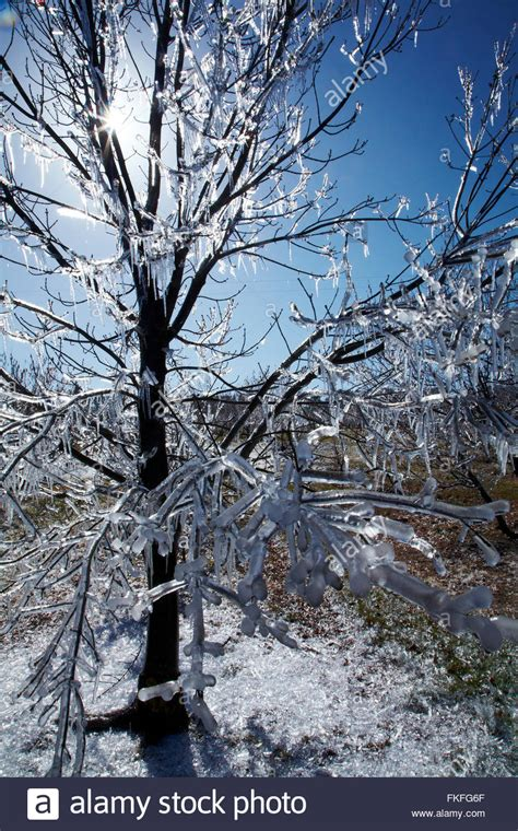 Tree Icicles - icicles on trees www imgkid the image kid has it