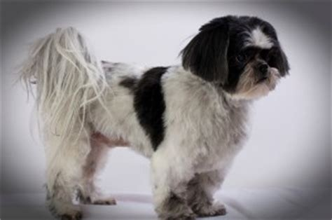 shih tzu ears stand up shih tzu breed history