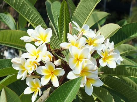 Minyak Atsiri Bunga Kamboja manfaat dan cara pengolahan bunga kamboja obat maag herbal