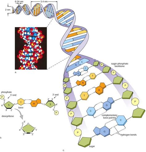 section 10 2 review dna structure dna structure morgan huetter s bio 205 study guide