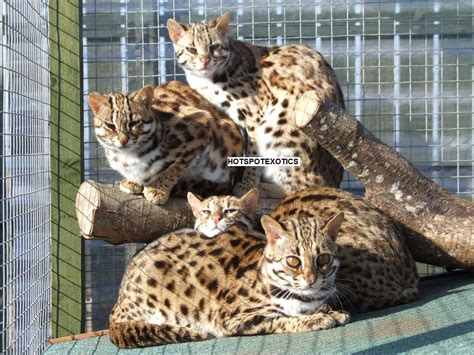 leopard house cat www hotspotexotics co uk asian leopard cats