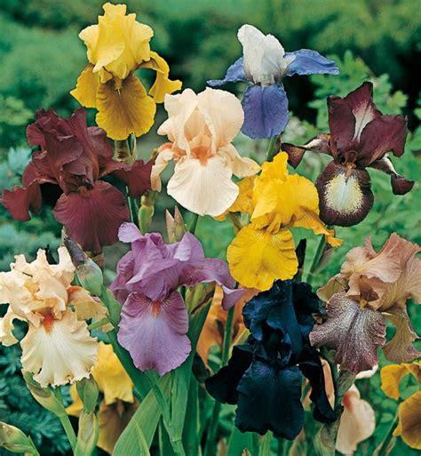 fiori iris iris a grandi fiori blue shimmer vendita iris meilland