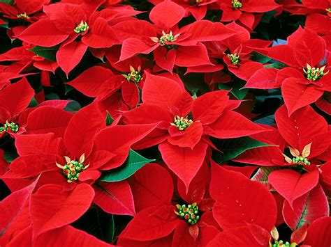 christmas plants poinsettia flower christmas flower