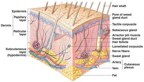 skin diagram labeled image gallery integumentary skin model labeled