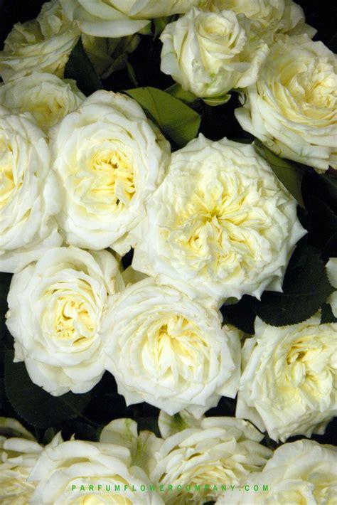 premium garden rose alabaster